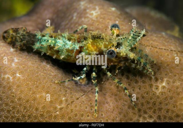 Caribbean Longarm Shrimp : Cleaner Shrimp Stock Photos & Cleaner Shrimp Stock Images - Alamy