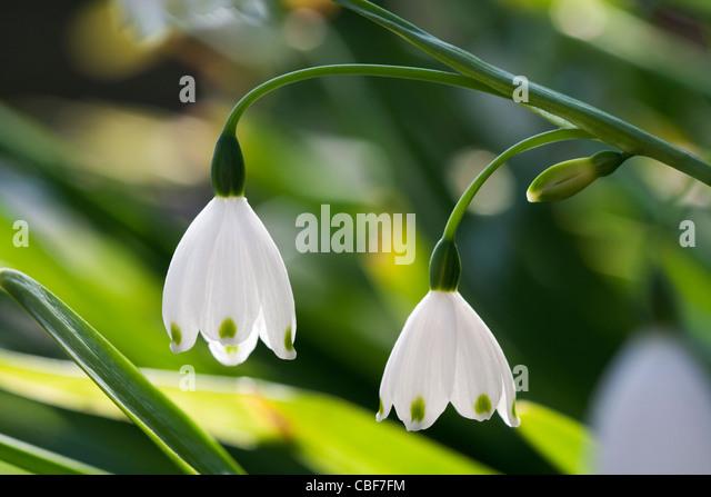 Leucojum vernum, Spring snowflake, White flower subject. - Stock Image
