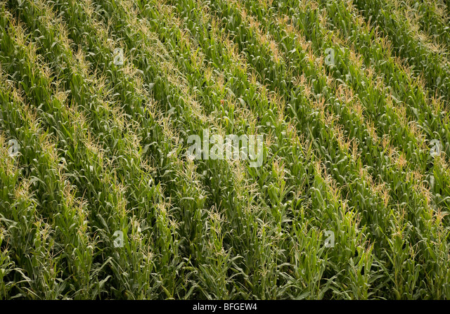 Aerial close up view of an American corn maize field with tassels in summer. Nebraska, Great Plains, USA - Stock Image