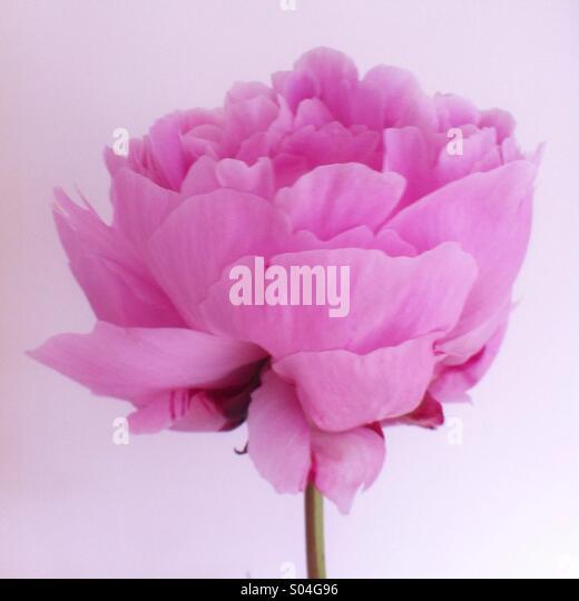 Pastel pink peony flower - Stock Image