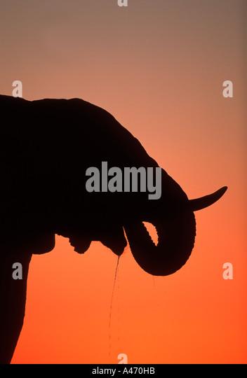 African elephant Loxodonta africana In silhouette against sunset Etosha N P Namibia Sub Saharan Africa - Stock-Bilder