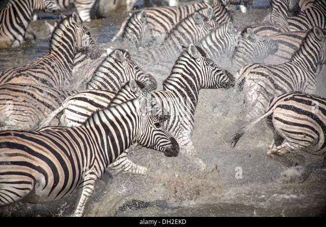 Zebras Running after being spooked - Stock Image