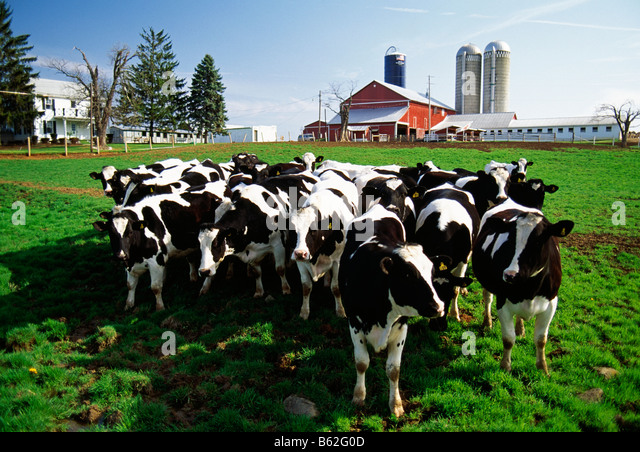 Holstein dairy cows in pasture Lonely Spot Farm near Bellefonte Pennsylvania USA - Stock Image