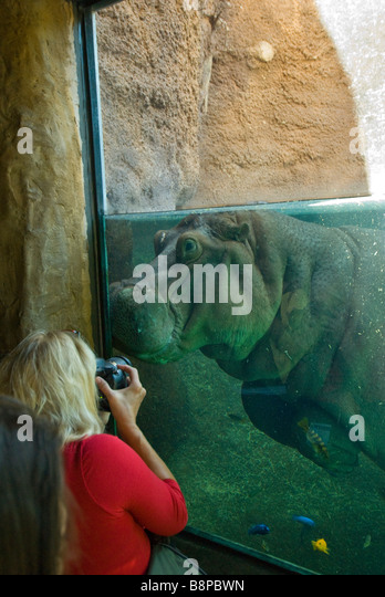 Woman in red shirt with camera photographing hippopotamus underwater at San Antonio zoo Texas tx Africa Live! Exhibit - Stock Image