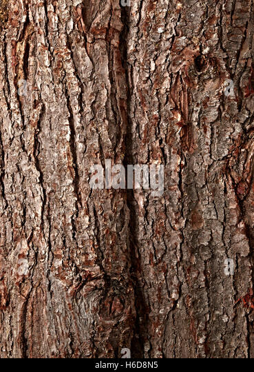 close up of poderosa pine tree bark. Pinus ponderosa - Stock Image