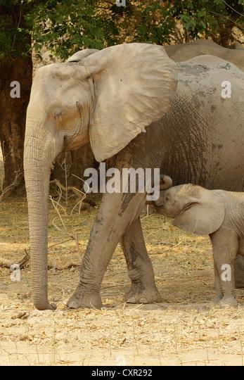 African Elephant with suckling calf, Mana Pools, Zimbabwe - Stock Image