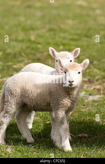 Two baby sheep signal arrival Spring Comox Valley - Stock Image