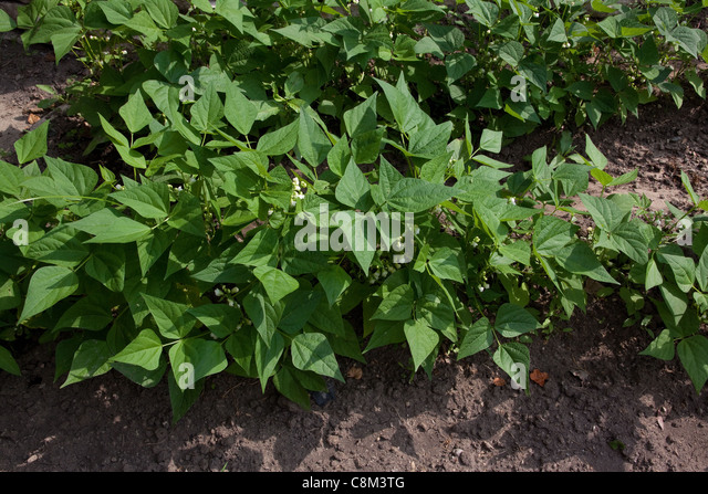 Flowering Green bean plants (Phaseolus cultivar) in vegetable garden,mid-June, Michigan USA - Stock Image