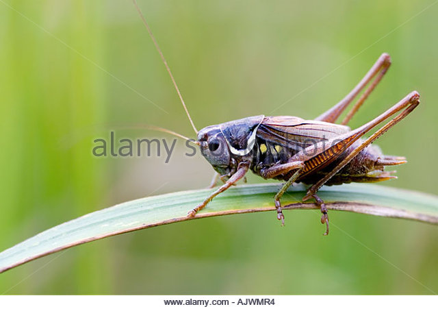 Close-up of an English cricket sitting on a grass leaf in the countryside - Stock Image