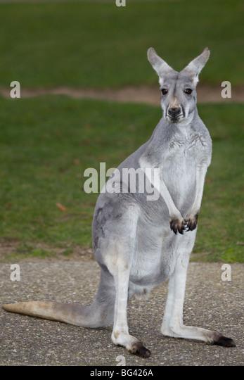 Kangaroo - Stock Image