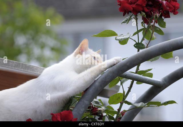 Thai cat climbing a rose arch - Stock Image