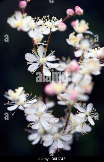Common name: Meadow sweet. Latin name: Filipendula ulmaria - Stock Image