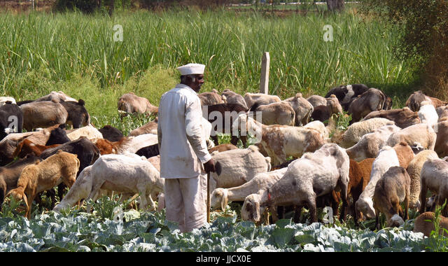 An Indian shepherd farmer looking at his cattle grazing his ruined crop. - Stock Image