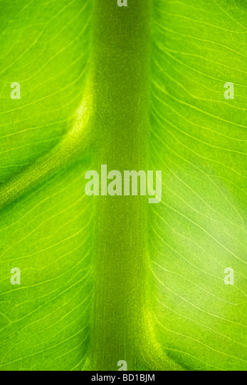 Green leaf and veins, extreme close-up - Stock Image