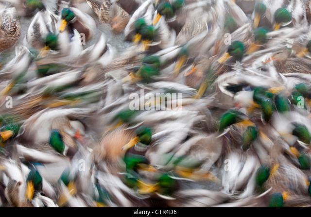 Abstract of a large flock of swimming Mallard ducks in a pond in Anchorage, Alaska, Winter - Stock Image