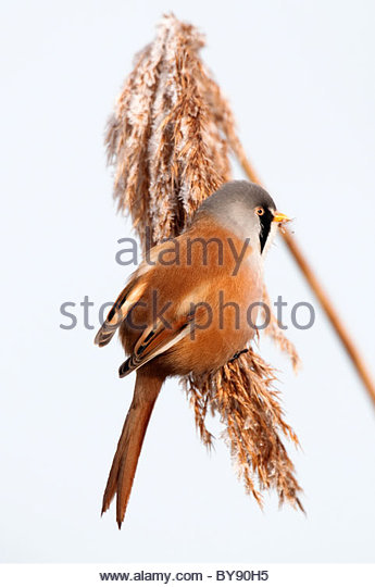 bearded tit in frosty reed bed - Stock Image