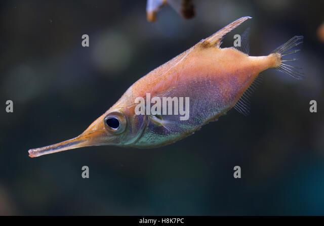 snipefish stock photos  u0026 snipefish stock images