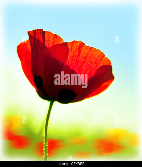 Blooming flower poppy field, big red plant blossom, spring meadow, natural colorful garden glade, abstract floral - Stock Image