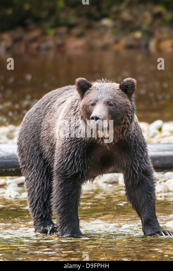 Brown or grizzly bear (Ursus arctos) fishing for salmon in Great Bear Rainforest, British Columbia, Canada - Stock Image