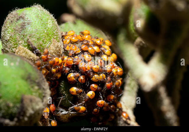 Shield Bug Nymphs - Camp Lula Sams - Brownsville, Texas USA - Stock Image
