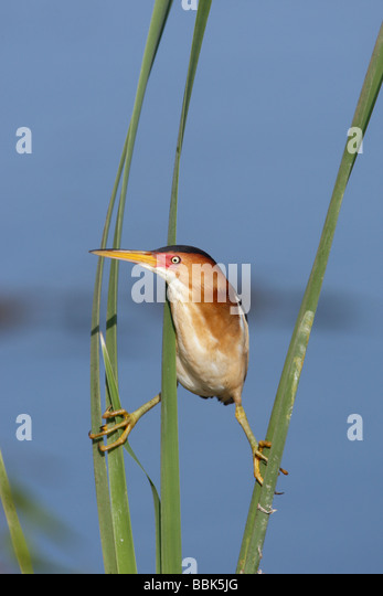 Least Bittern - Vertical - Stock Image