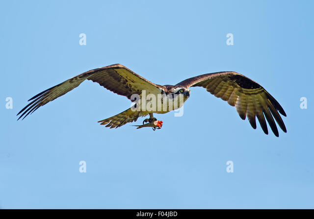 Osprey in Flight with Fish - Stock Image
