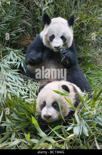 Giant Pandas mother and cub in the bamboo bush Wolong Sichuan China - Stock Image