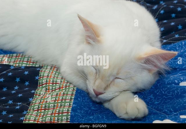 White cat sleeping on blue quilt - Stock Image