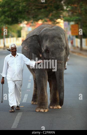 Sai Gita the little elephant of Sathya Sai Baba Andhra Pradesh South India - Stock Image