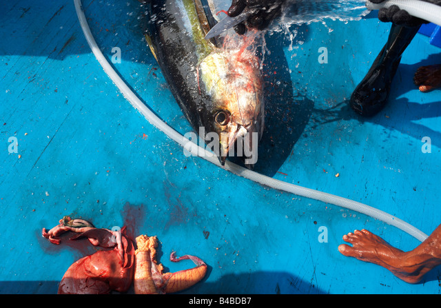 Yellowfin tuna stock photos yellowfin tuna stock images for B liner fish