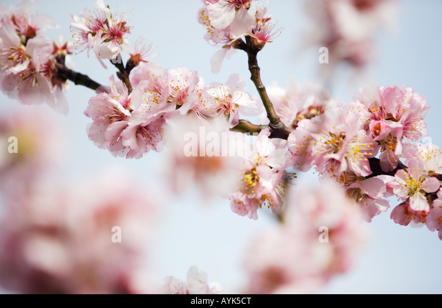Almond blossoms - Stock Image