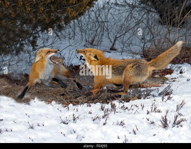 Red Foxes Fighting in Snow - Stock Image