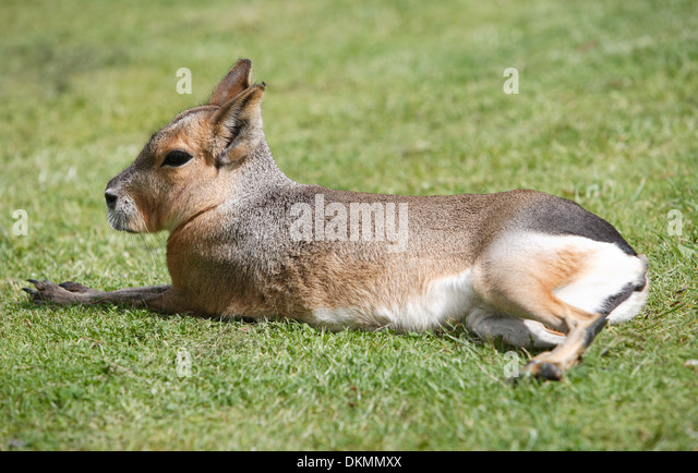 Mara lying on the grass - Stock Image