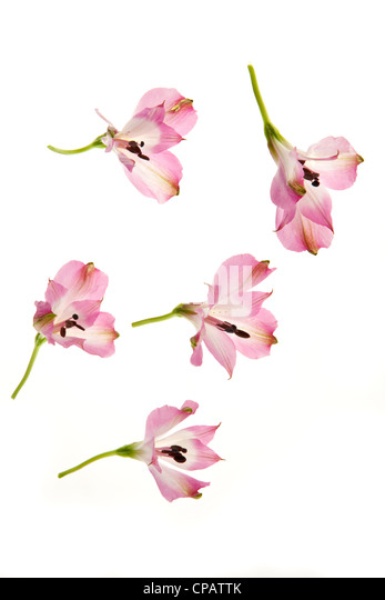 little pink rose flowers in differents position - Stock Image