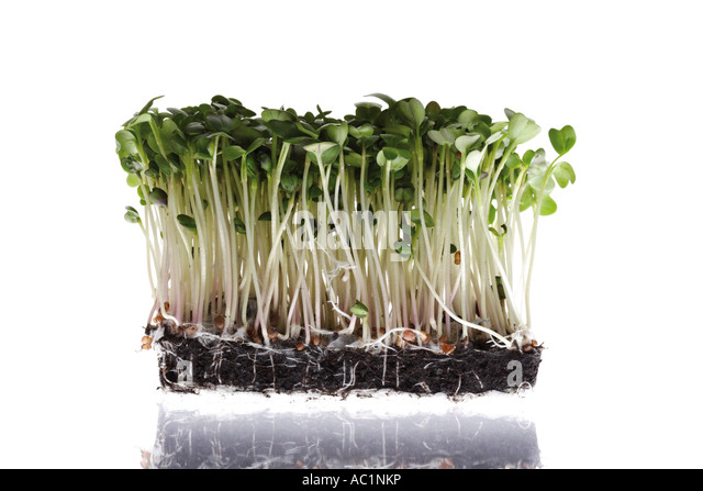 how to grow cress in soil