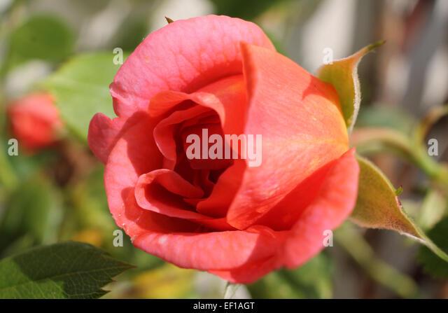 gardener, greenery, scenery, petals, love, nature, romance, spring, summer, macro photography, pink rose, rose bud, - Stock Image