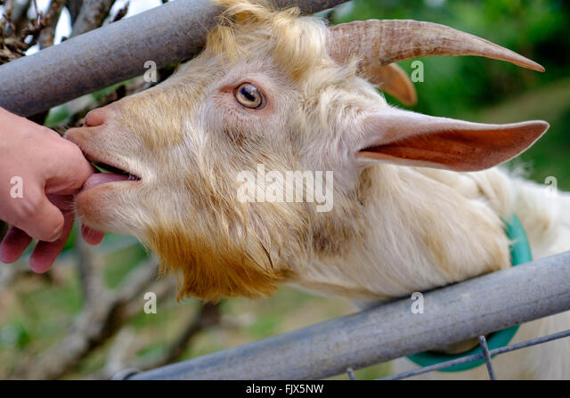 Close-Up Of Goat Licking Person Hand - Stock Image