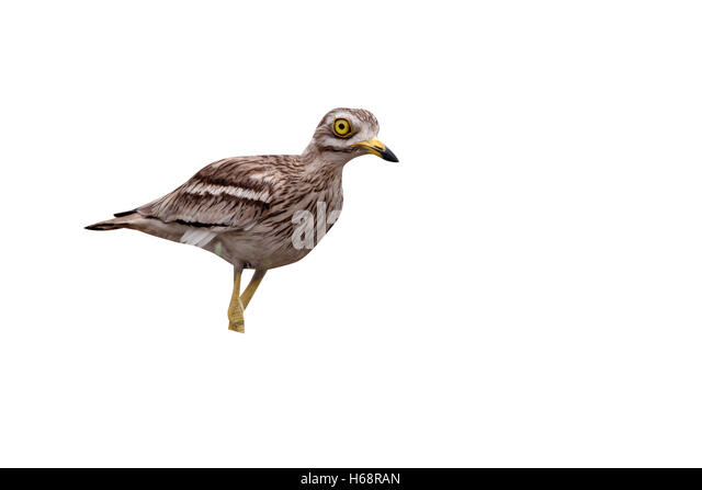 stone curlew bird how to stop