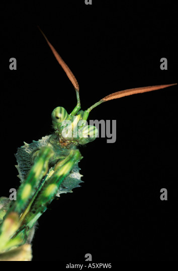 Praying mantis Bahrain Arabian Gulf - Stock Image