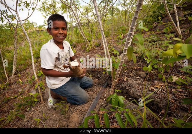 Young Panamanian boy harvests Yuca roots in Las Minas de Tulu in Cocle province, Republic of Panama. - Stock-Bilder