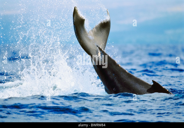 Humpback Whale Newborn Calf Lobtailing or Tail Slapping - Stock Image