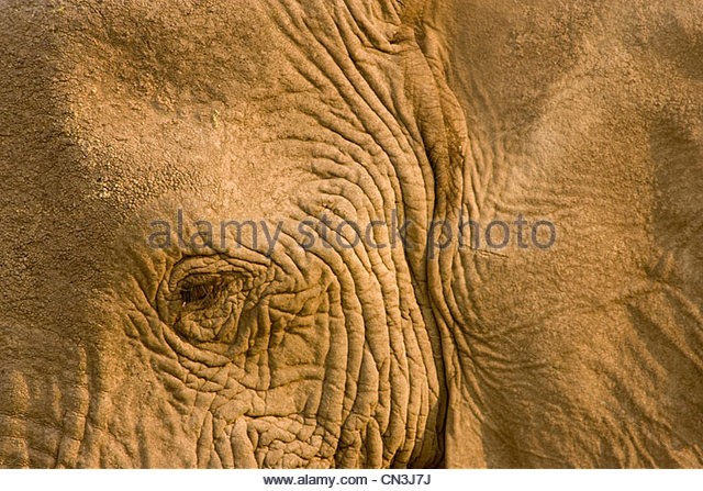 Close-up of an African Elephant, Botswana - Stock-Bilder