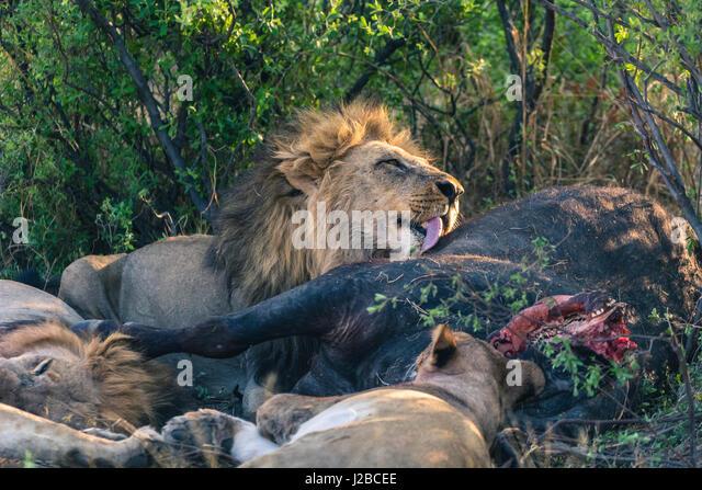 Botswana. Chobe National Park. Savuti. Pride of lions eating a Cape buffalo. - Stock-Bilder