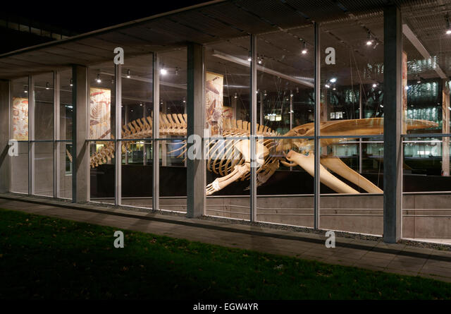 Complete blue whale skeleton at night, Beaty Biodiversity Museum, University of British Columbia, , Vancouver, BC, - Stock Image