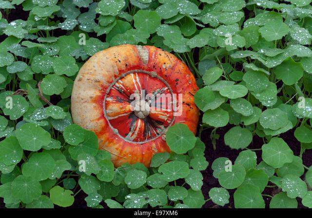 Turban Squash genus Cucurbita ripe fruit in Autumn - Stock-Bilder
