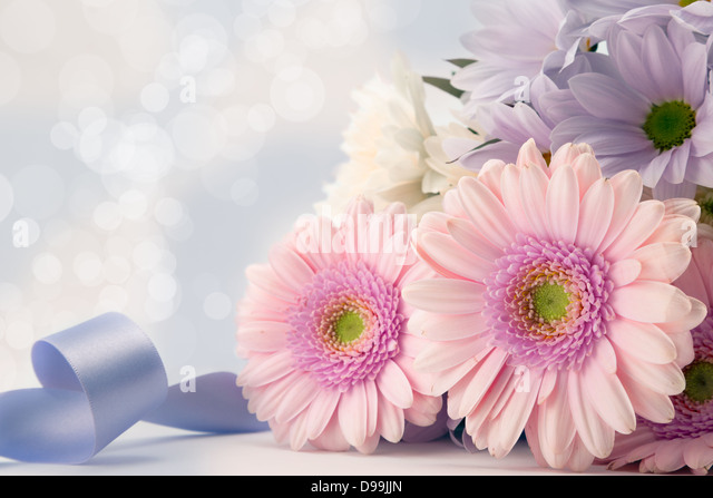 Pink gerbera flowers with blue ribbon and soft diffused background. - Stock Image