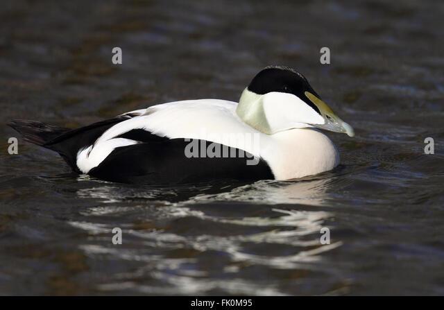 Eider Duck (Somateria mollissima) - Stock Image