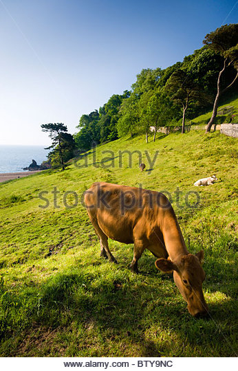 Cow grazing in a field at Blackpool Sands, South Hams, Devon, England. - Stock Image