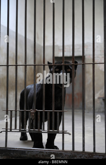 Caged black panther in Beijing Zoo. - Stock Image