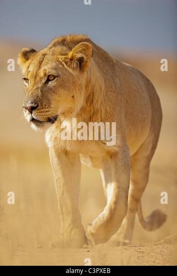 Africa, Botswana, South Africa, Kalahari, Lion in Kgalagadi Transfrontier Park - Stock Image